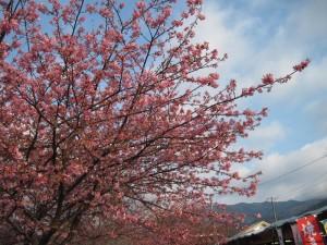 【河津町】 河津桜