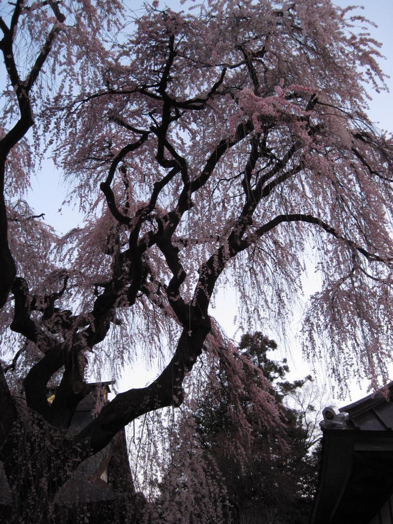 明け方の慈雲寺のしだれ桜