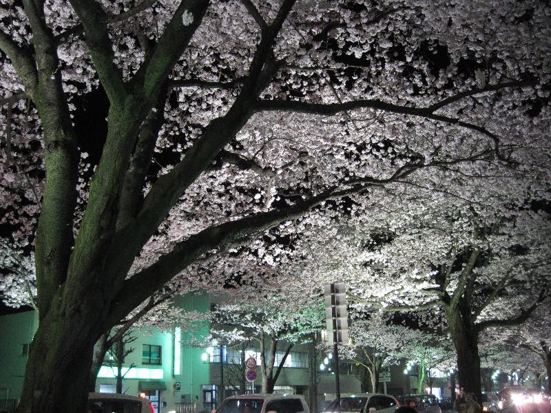 2010年 日立の桜