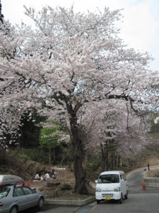 【魚沼市】 道の駅 いりひろせ 桜