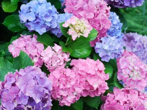 哲学の道の紫陽花 (G1 NFD50mm)