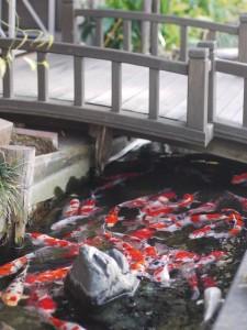 「ちょっと多すぎる鯉」 (G1 NFD50mm)