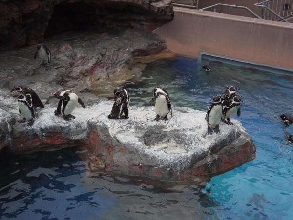 「フンボルトペンギン」