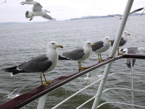 「松島→塩竃観光船 ちゃっかり止まってエサを待つカモメ」 (G1 M.ZUIKO DIGITAL 14-42mm F3.5-5.6)