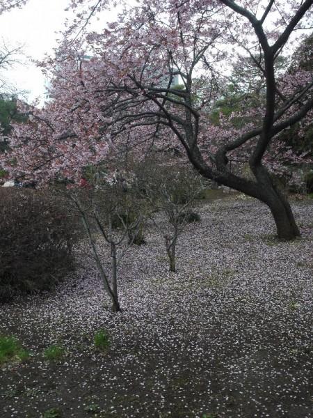 「新宿御苑 散り始めの梅」