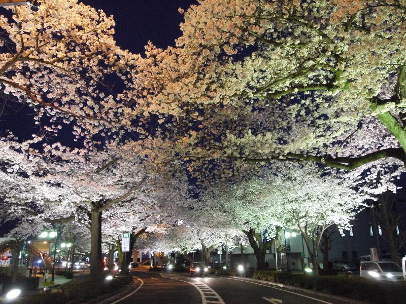 「日立平和通りのライトアップされた桜 横断歩道から」