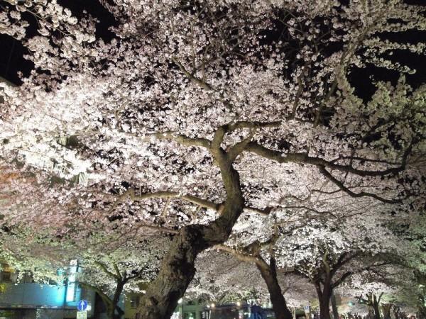 「日立平和通りのライトアップされた桜」