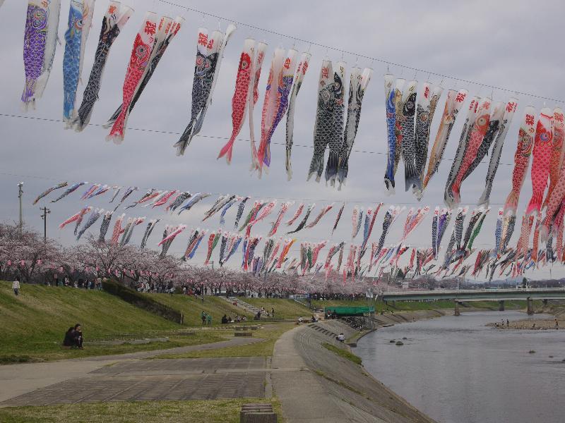「福島県須賀川市 釈迦堂川さくらまつりの鯉のぼり」