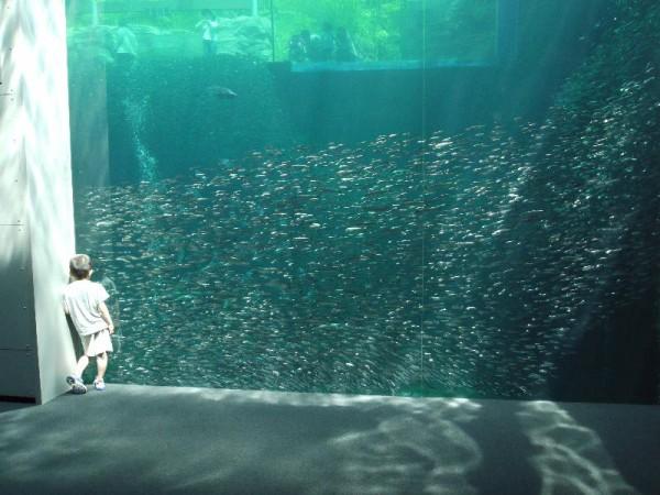 「アクアマリンふくしまの潮目の海 イワシの群れ」