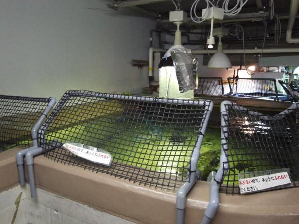 「アクアマリンふくしま チョウザメの飼育槽のチョウザメ」