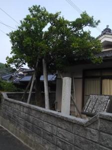 青海島の夏蜜柑原樹