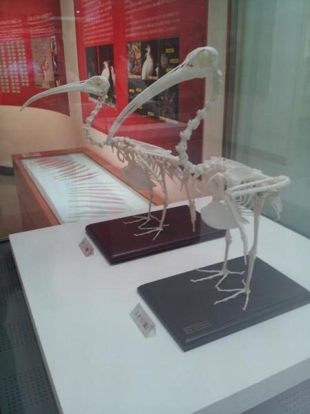 【新潟県佐渡市】 トキ資料展示館 トキの骨格