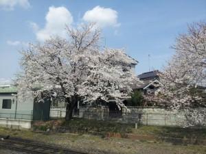 下館駅の桜