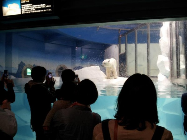 【和歌山県】 アドベンチャーワールド ホッキョクグマ