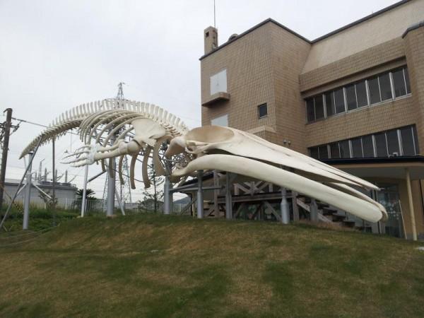 【千葉県和田町】 道の駅 和田浦 ミンククジラ骨格標本