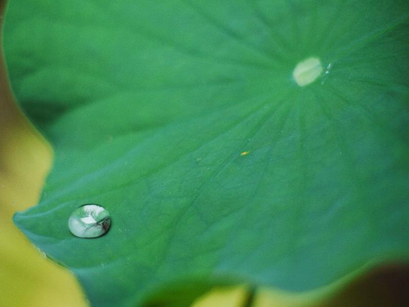 「法然院」の蓮の葉 (G1 NFD50mm)