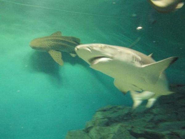 「泳ぎ回るサメ」