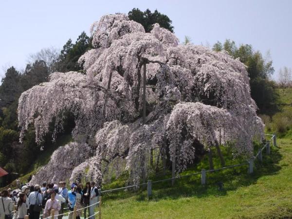 「三春滝桜」