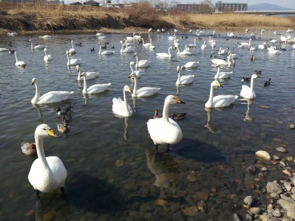 阿武隈川の白鳥飛来地