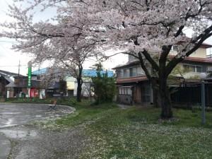 【喜多方市】 坂内食堂 店の前の公園の桜