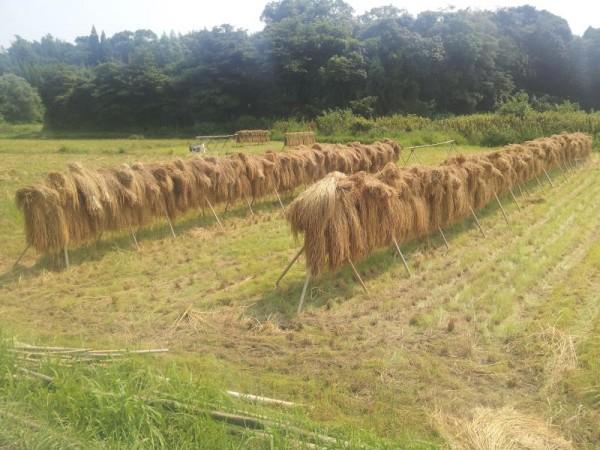早場米は既に稲刈り終了