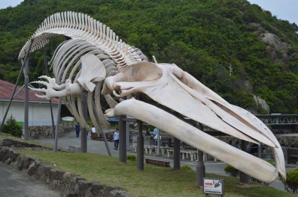 【和歌山県太地町】 くじらの博物館 シロナガスクジラの骨格