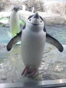 こちらを見ているペンギン